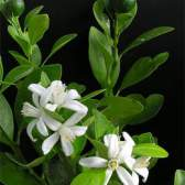 Цитрус фортунелла - гібрид мандарина і кінкана