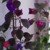 Квітка ахименес як доглядати