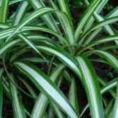 Квітка хлорофітум прикмети погоди