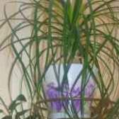 Квітка ноліна бокарнея догляд