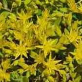 Квітка очиток морганічний