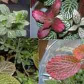 Фиттония догляд і розмноження квітів