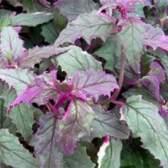 Гинура - складноцвіті тропічна рослина