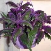 Гинура: догляд за гінура - радість квітникаря