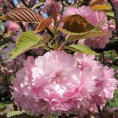 Історія рослин: культ квітів в японії
