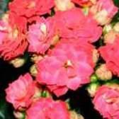 Як ростити каланхое квітучий