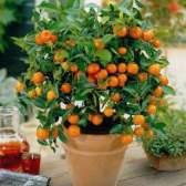 Як виростити апельсин з кісточки