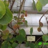 Як виростити ківі (актинідію) з насіння