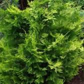 Кипарисовик лавсона можна вирощувати в квартирі