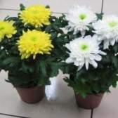 Кімнатна хризантема: догляд в домашніх умовах за горщиком