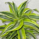Мініатюрна пальма - драцена деремская