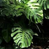 Монстера - походження назви рослини