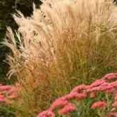 Очиток бур`ян зернових