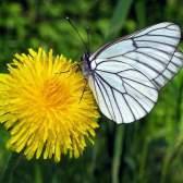 Кульбаба цікава інформація про улюбленому квітці