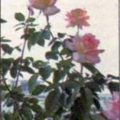Оформлення кімнат і балконів трояндами (частина 2)