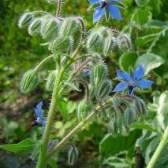 Огіркова трава (бораго): корисні властивості, фото, застосування