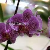 Орхідея фаленопсис догляд