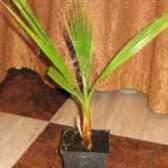 Пальма вашингтония робуста з насіння