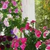 Пеларгонія з насіння фото квітів