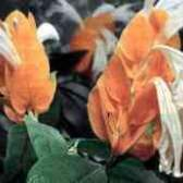 Чому скручуються листя у пахістахіс