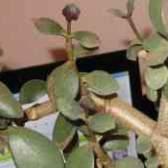 Чому у грошового дерева тонкі листя