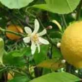 Чому жовтіє листя у лимона по краях