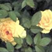 Підживлення троянд