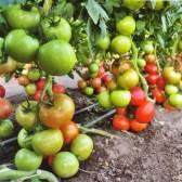 Підживлення томатів
