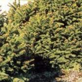 Садові дерева та чагарники