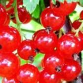 Смородина червона і її лікувальні властивості