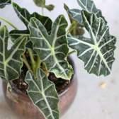 У алоказии сандера стрілоподібні листя