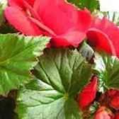 У бегонії білі листя салату
