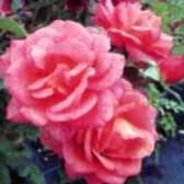 Вирощування троянд в контейнері