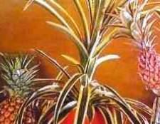 Ананас кімнатна рослина фотографії