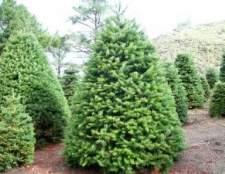 Хвороби і лікування хвойних дерев