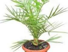 Великі рослини у вас в будинку