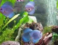 Циперус в акваріумі фотострана