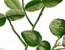Цитрусові дерево з шипами це
