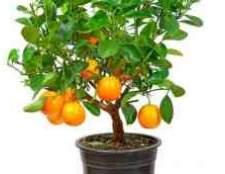 Цитрусова рослина з шипами