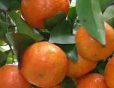 Цитрусові фрукти кумкват фото