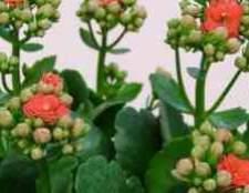 Квітка каланхое пересадка кісткового