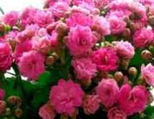Квітка каланхое розмноження кроликів