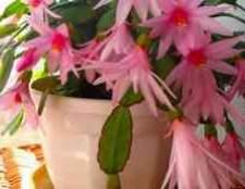 Домашні квіти олеандри