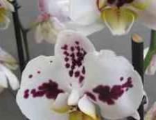 Фаленопсис арлекін шнур