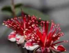 Фейхоа - невеликий вічнозелений розлогий чагарник з зелено-сріблястою кроною і великими біло-червоними квітками.