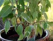 Фікус з дрібним листям фотострана