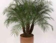 Фінікова пальма з кісточки