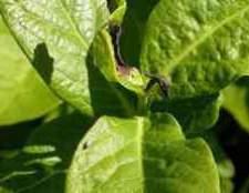 Гібіскус чорніє листя