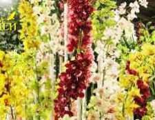 Гібридна орхідея фаленопсис фото