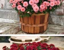 Хризантема в горщику: правила догляду за хризантемою в домашніх умовах